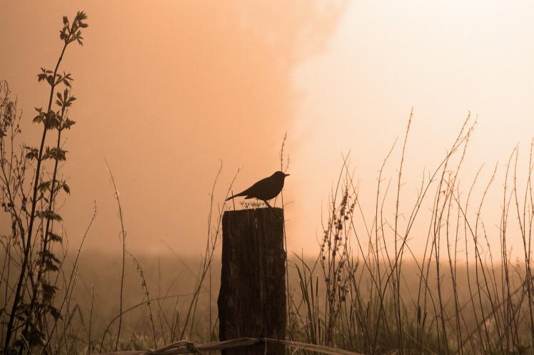 blackbird-542460_1920